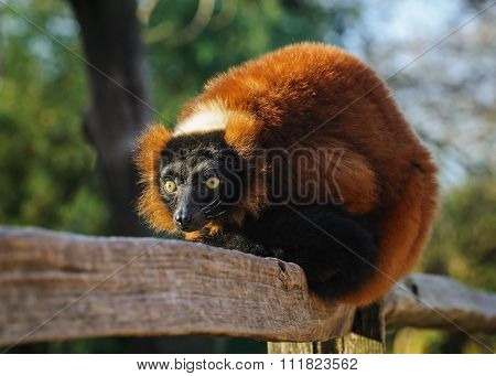 Portrait Of An Red Ruffed Lemur At The Zoo, The Netherlands