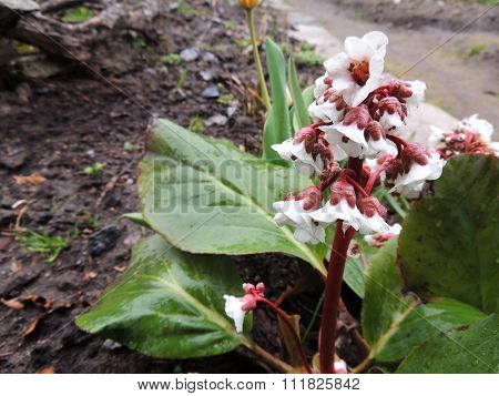 Badan, and Bergen (Bergenia) family saxifrage