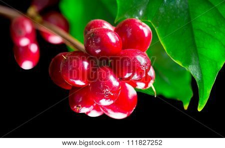 Coffee Plant. Red coffee beans on a branch of coffee tree. Branch of a coffee tree with ripe fruits isolated on black background