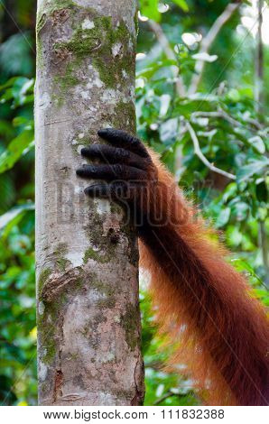 Hand of Orangutan alpha male on a tree in jungle, Borneo