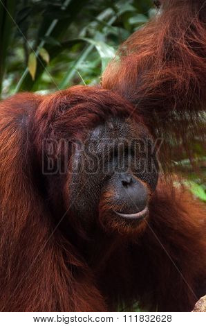 Alpha male orang utan eating portrait in jungle of Borneo