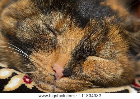 Closeup of a snout of a sleeping tortoiseshell cat