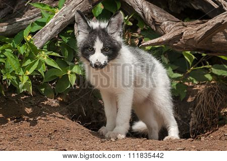 Young Marble Fox (vulpes Vulpes) Looks Out