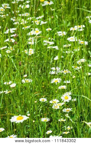 camomile on field