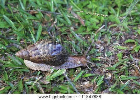 Helix pomatia, common names the Burgundy snail or escargot