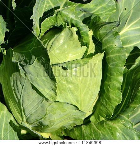 Pointed Cabbage (brassica Oleraceae).