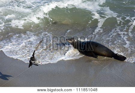 Sea Lion At The Beach Of La Jolla California