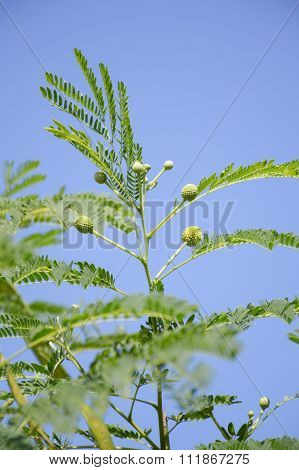 green acacia tree in garden