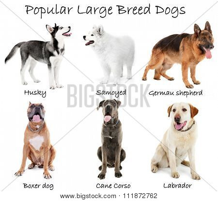 Different large breeds of dogs together, isolated on white
