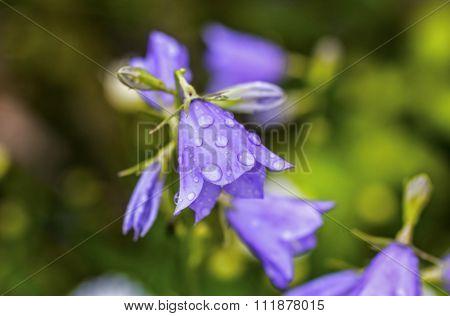 Dew Drops On Blue Bell Garden