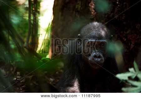 Kid Of A Lowland Gorilla
