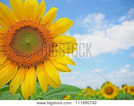Sunflower in garden with sky background