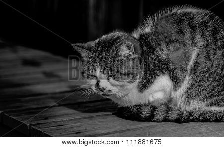 Sleepy Chubby Pussy Cat Lied On The Wooden Ground Around Outdoor Of Village