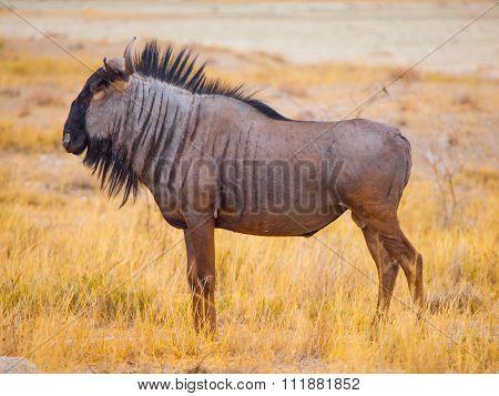 Wildebeest gnu profile