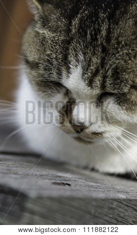 Sleepy Chubby Pussy Cat Lied On The Wooden Closeup On Its Head