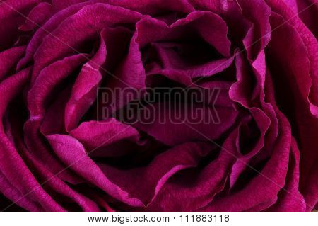Wither Rose Burgundy