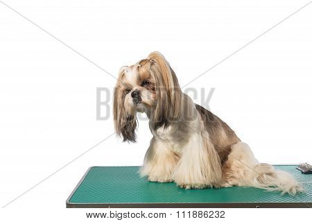 Little Shih-tzu Dog At The Groomer's Table