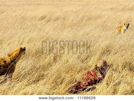 Spotted Hyaenas