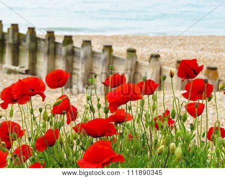 Poppies on seashore