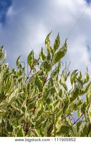 Garden shrub white Derain (Cornus alba)