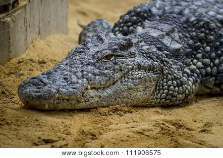 predator, crocodile resting on the sand beside a brown river