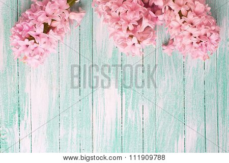 Fresh Pink Flowers Hyacinths  On Turquiose Painted Wooden Planks.