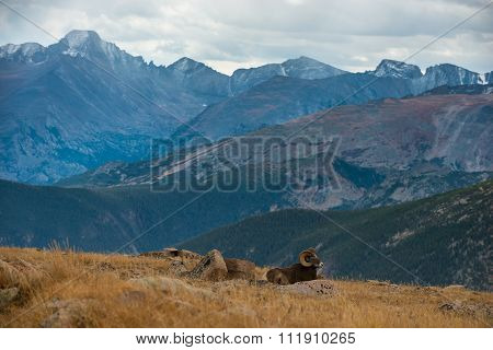 Wild Bighorn Sheep Ovis Canadensis Rocky Mountain Colorado