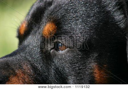 Eyes Of Rottweiler