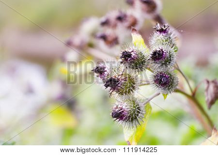 Pink Flowers Of Prickles Of A Burdock