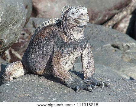 iguana from galapagos
