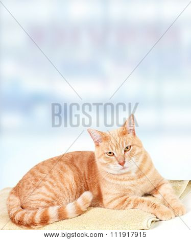 Ginger cat over blue background in veterinary clinic.