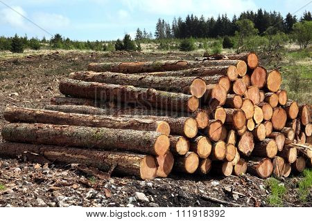 Forest pine trees log trunks