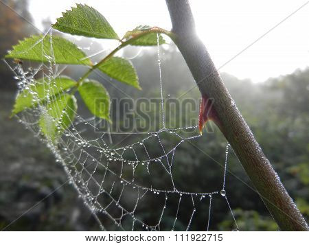 Spider Web Wit Morning Dew Water Drops