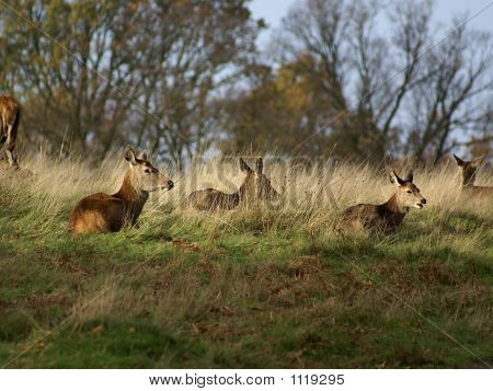 Herd Of Deer