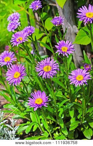 The Alpine Aster (Aster alpinus) is a perennial rhizomatous herbaceous or half-shrub plant