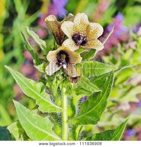 Black henbane (Hyoscyamus niger)