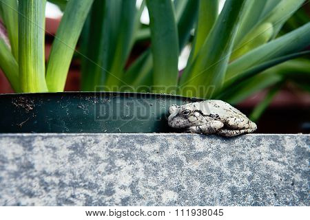 black and pale toad sitting on the edge staring into the camera