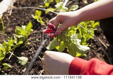 Picking Radishes