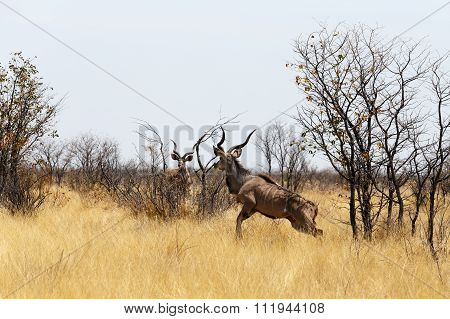Kudu On Way To Waterhole