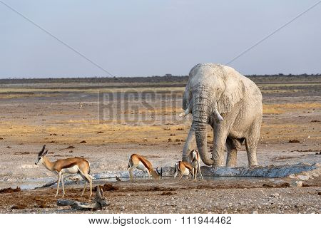 White African Elephants In Etosha