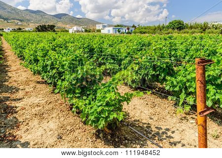 Grape field