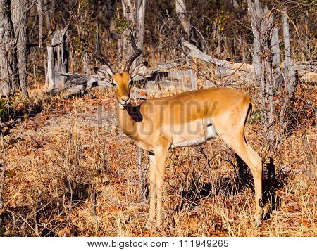 Young impala in the forest
