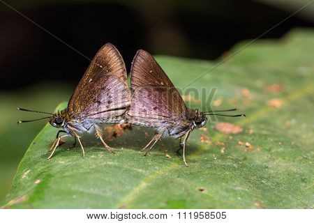 Skipper (hesperiidae) Butterflies Mating