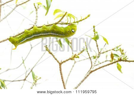 Macro Green Worm On The Tree Branch Isolated On White