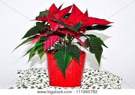 Poinsettia in the flowerpot
