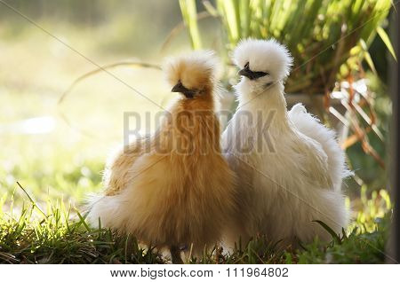 Silkie hens