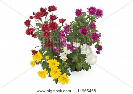 Chrysanthemum flower in a pot