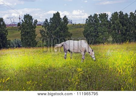 A horse grazes on a meadow near the town