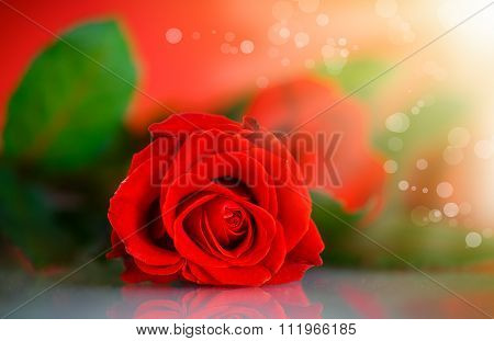 Red beautiful rose