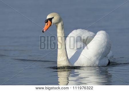 Mute swan (Cygnus olor) swimming